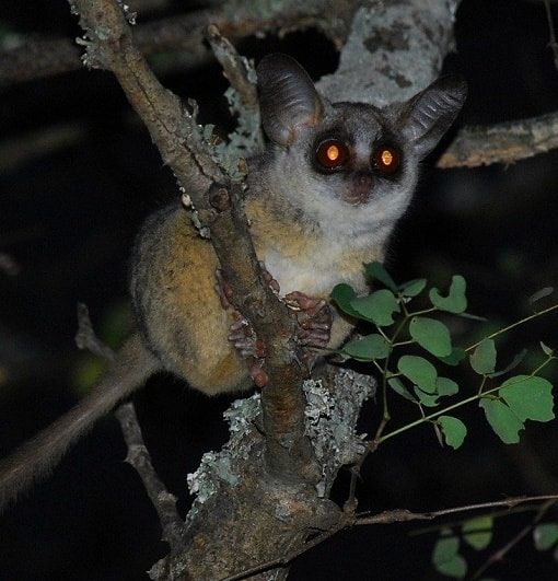 One-on-one with the African bush baby - DNB Stories