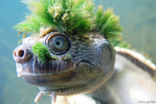 The green-haired turtle that can breathe through its genitals everyone is talking about!