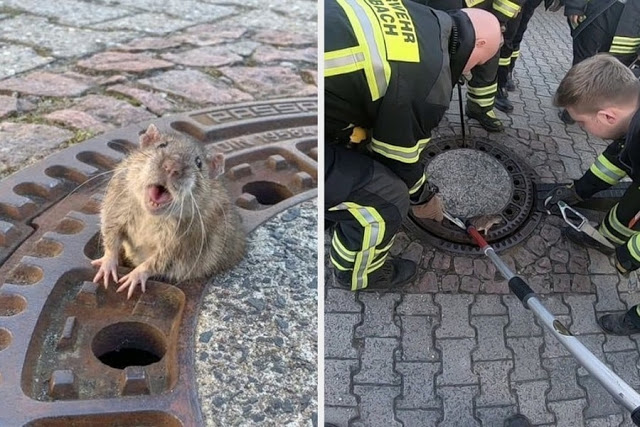 How a team of firefighters rescued a fat rat stuck in a hole