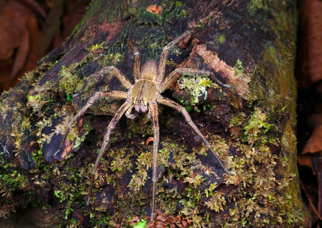 This Brazilian spider will give you an erection after it bites you