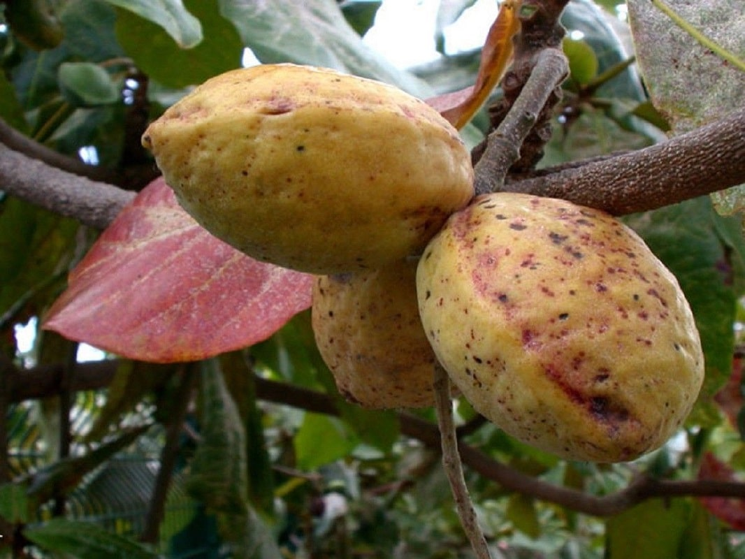Tropical Almond – The fruit called 'fruit' in Nigeria